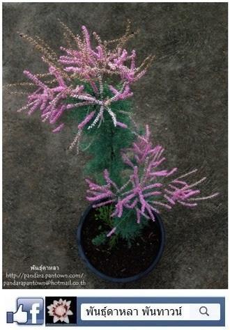 Tamarix ramosissima สนดอกชมพู