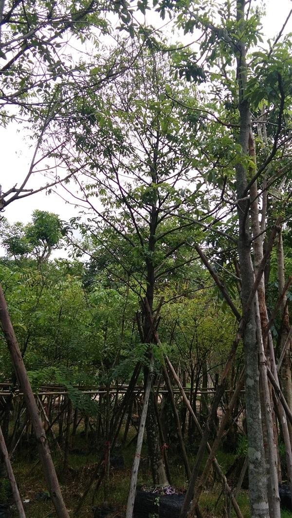 ต้นอินจัน 5นิ้ว5.5เมตร