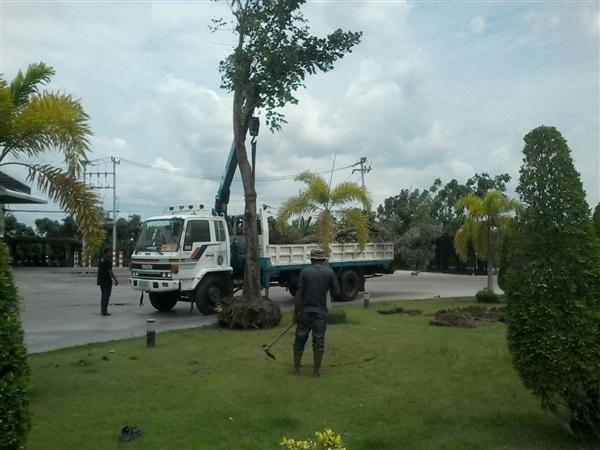 ย้ายต้นไม้ใหญ่ ตัดแต่ง ปลูก เปลี่ยนไม้ใหญ่ทุกขนาดและชนิด