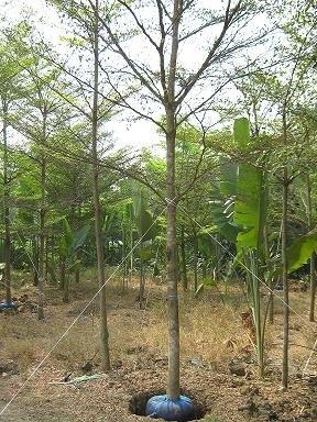 ขายกล้าไม้ทุกชนไม้ขุดล้อมทั้งไม้ยืนต้นและปาล์มประดับ ทุกชนิด