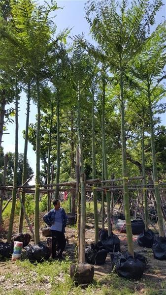 ต้นฉัตรพระอินทร์หรือต้นกรด ขนาด5-6นิ้ว