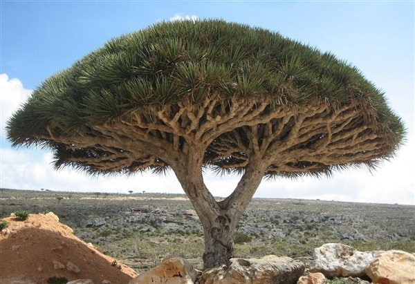 Red Dragon Blood Tree - Dracaena drago var. draco