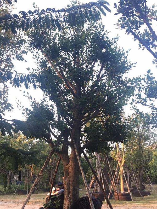 ต้นมั่งมี 13 นิ้ว
