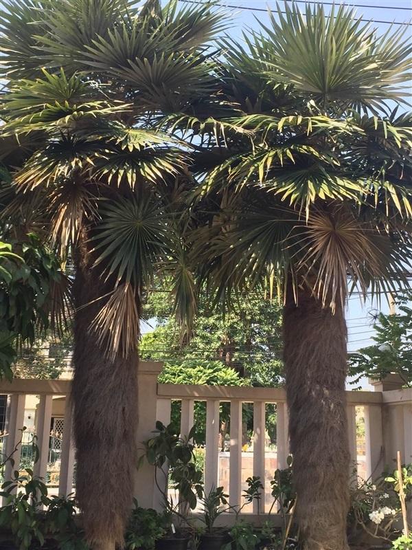 ต้นปาล์มเคราฤาษี
