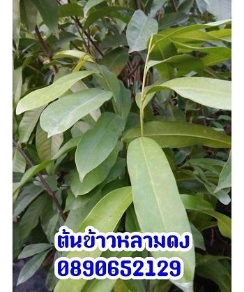 ต้นข้าวหลามดง