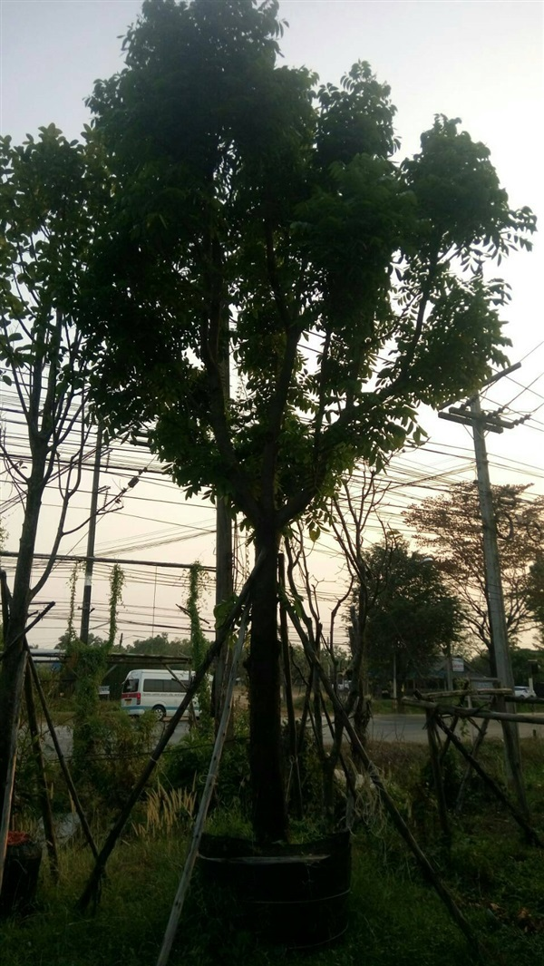 ต้นมะฮอกกานี