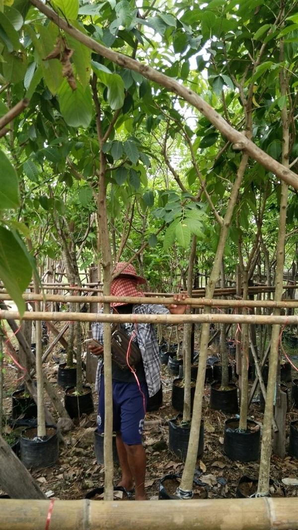 ขาย ต้นอินทนิลน้ำ 2 นิ้ว 3-3.5 เมตร