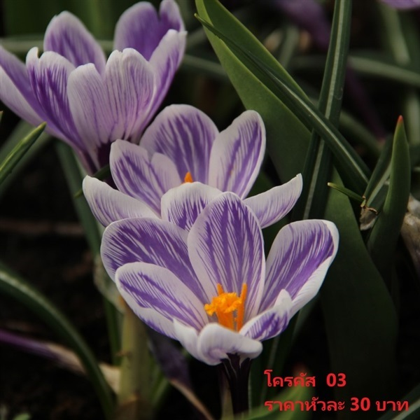 Crocus Vernus Striped Beauty