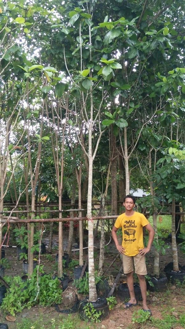 ขายต้นคำมอกหลวง 3 นิ้ว สูง 3.5-4 เมตร