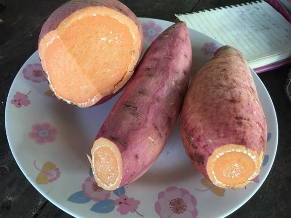ยอดพันธุ์มันเทศออสเตรเลีย สีส้ม,,เมล็ดพันธุ์พืชไร่