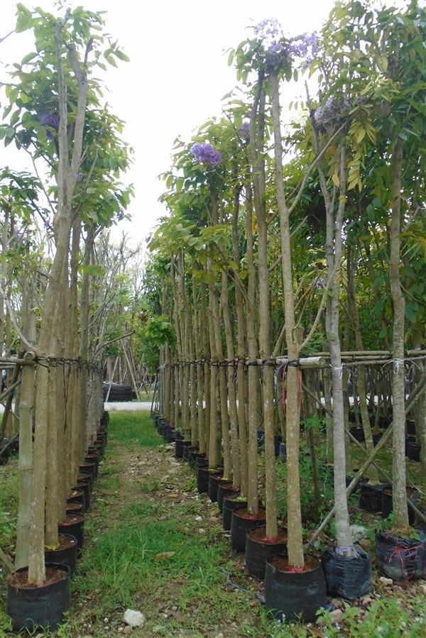 ต้นเสลา ขนาด 2-10 นิ้ว