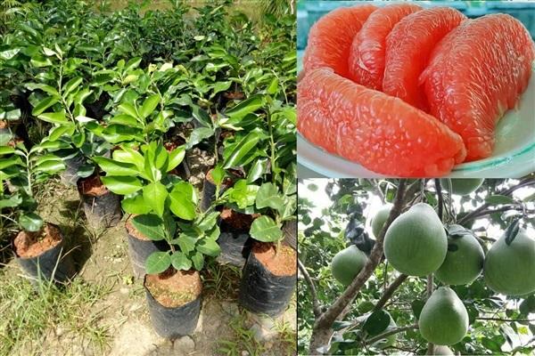จำหน่ายต้นส้มโอทับทิมสยามเสียบยอด เนื้อแดงกร่ำ ราคาดีเป็นที่