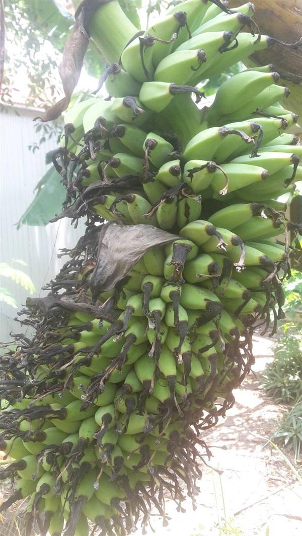 หน่อกล้วยร้อยหวี BANANA008