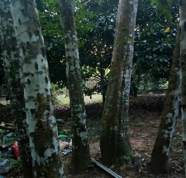 ไม้หอม จำนวน 150 ต้น เจาะรูแล้ว อายุ 15 ปี