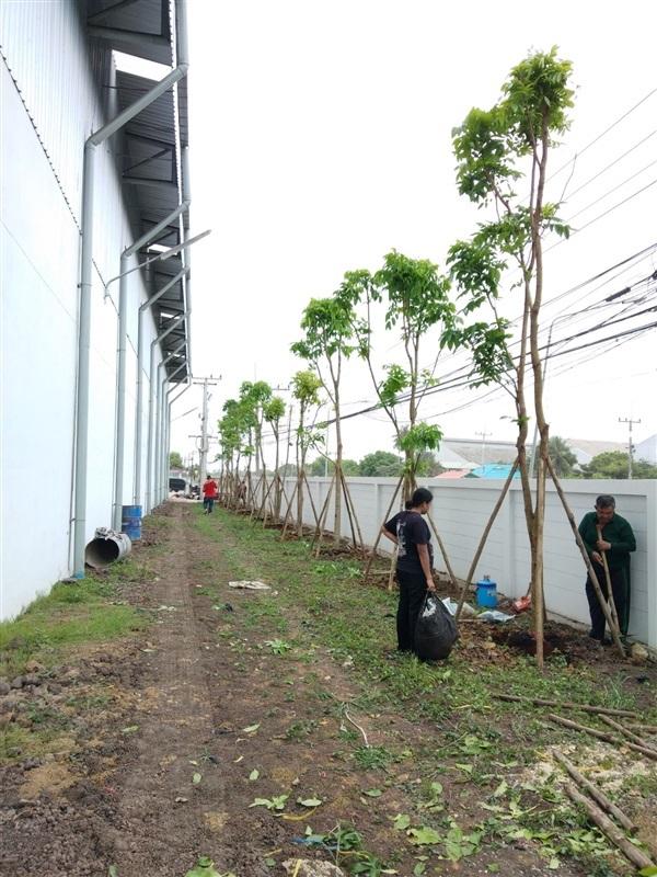 ต้นมะฮอกกานี 5 นิ้ว สูง 5 - 5.5 เมตร