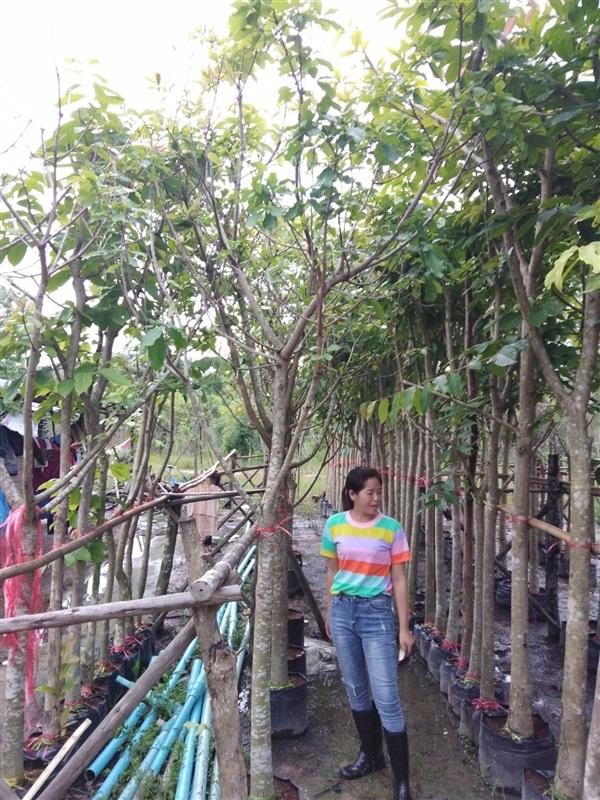 ต้นจิกน้ำ 3 นิ้ว สุง 3.5 เมตร