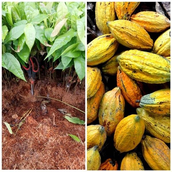 ต้นโกโก้ สายพันธุ์ชุมพร1(ต้นถอน) พันธุ์แท้ ลูกดก ผลใหญ่