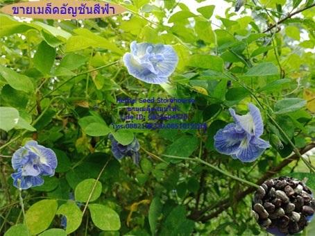 ขายเมล็ดอัญชันดอกสีฟ้า