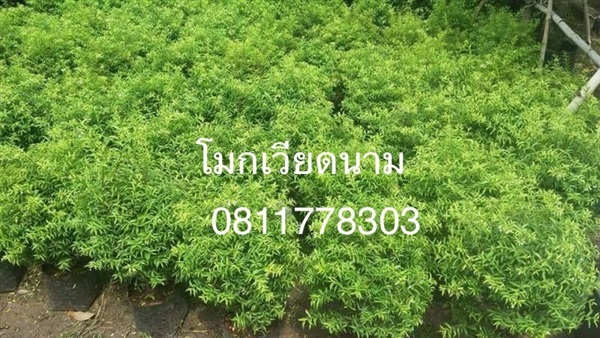 ต้นโมกเวียดนาม