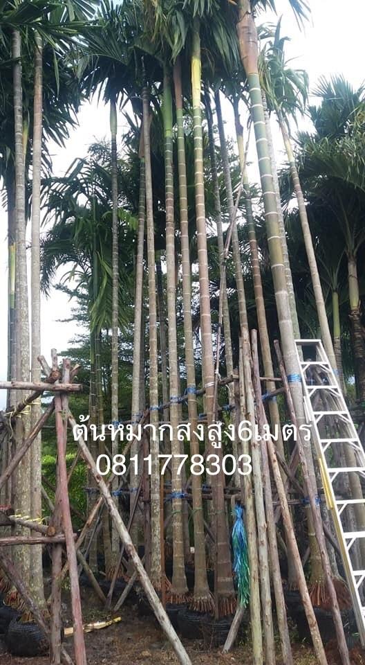 ต้นหมากสงสูง6เมตร,,ต้นหมาก