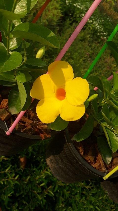อมรเบิกฟ้าดอกสีเหลือง (กทม)