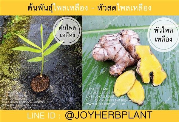 ต้นพันธุ์ไพลเหลือง หัวไพลเหลือง ปลีก-ส่ง จัดส่งทั่วประเทศ