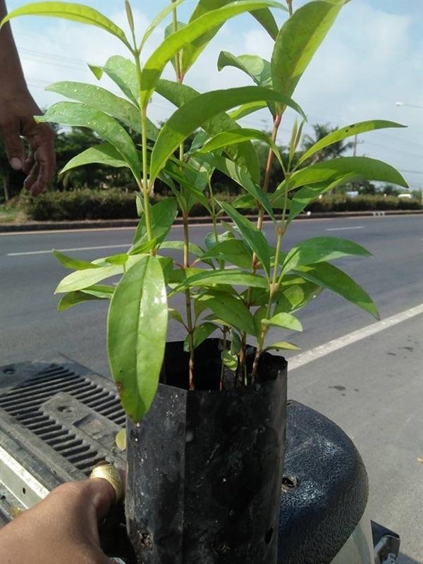 ต้นผักติ้ว ราคาต้นละ 75฿,,เมล็ดพันธุ์สมุนไพร-เครื่องเทศ