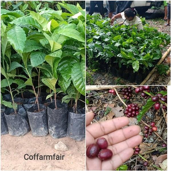 ต้นกาแฟโรบัสต้า เมล็ดโต ก้านยาว ลูกดก ให้ผลเร็ว รับซื้อผลผลิ