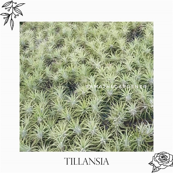 ทิลแลนเซีย