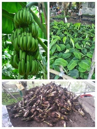 พันธ์กล้วยหอมทองปทุม พันธ์แท้ 100%
