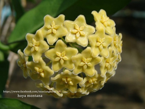 Hoya Montana Yellow