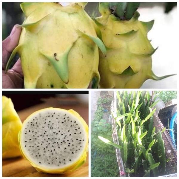 แก้วมังกรเหลืองอิสราเอล ต้นละ350บาท,,เมล็ดพันธุ์ไม้ผล-ไม้ยืนต้น