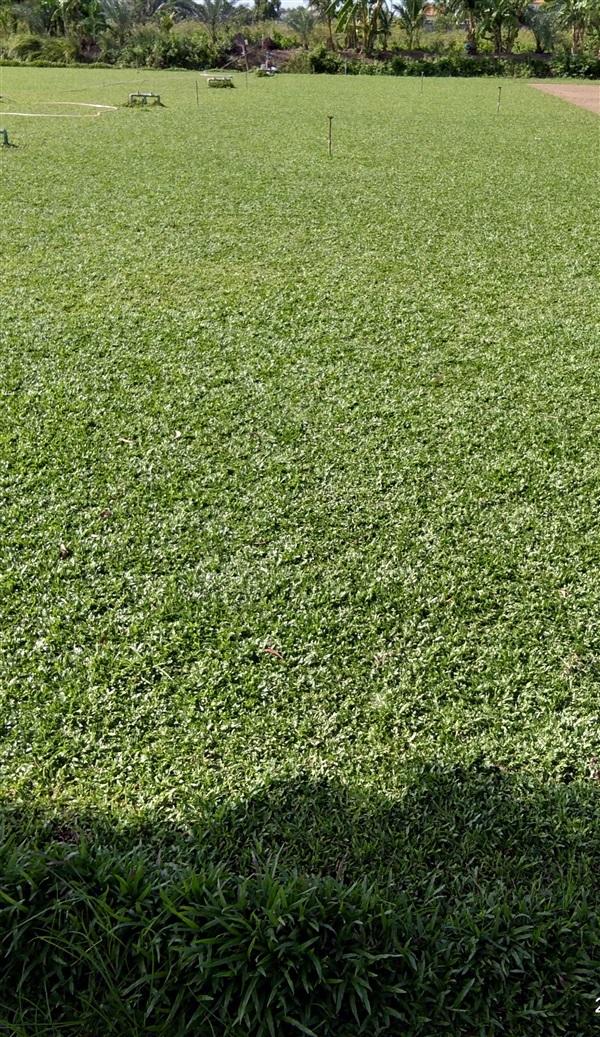 หญ้ามาเลย์