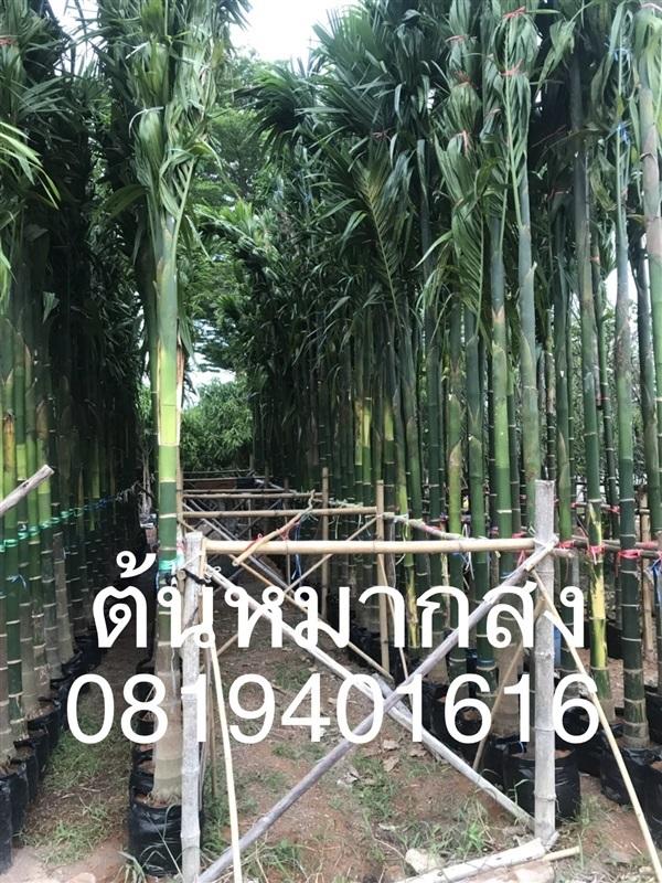 ต้นหมากสงสูง 4 เมตร