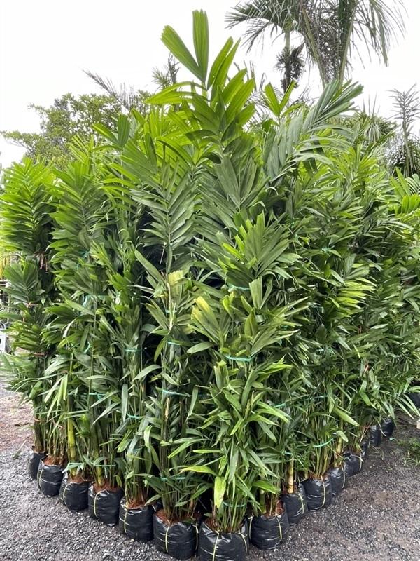 ต้นหมากเขียวสูง2เมตร