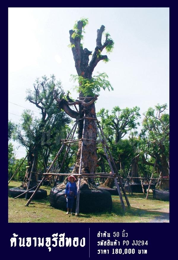 ต้นจามจุรีสีทอง NO.294,,จามจุรี