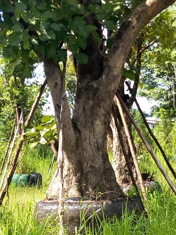 ต้นทองกวาว ไม้ขุดล้อม