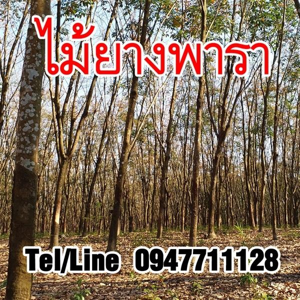 ขายต้นยางพารา ไม้ยางพารา บริการส่งทั่วประเทศ