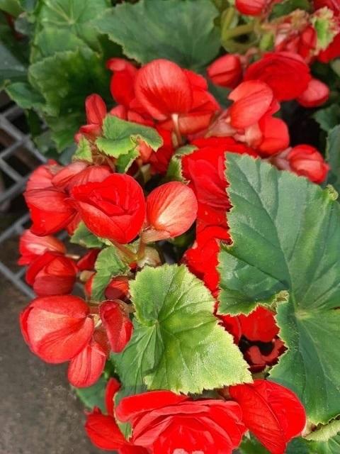 บีโกเนียดอกซ้อน-Begonia double mixed(กทม)