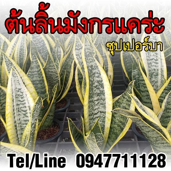 ขายต้นลิ้นมังกรแคร่ะ ซุปเปอร์บา ไม้ฟอกอากาศ ราคาถูก