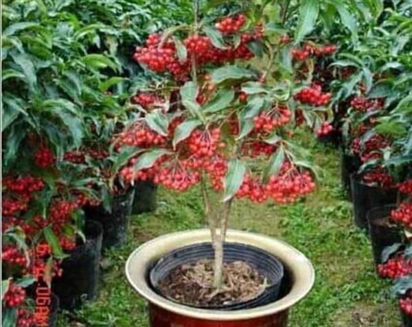 #มหาเฮง ไม้มงคล ต้นพันธุ์แข็งแรง รากเดินทุกต้น ราคาต้นละ 120
