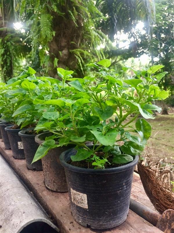 วอเตอร์เครส ฮาวาย Brazilian Spinach (พันธุ์ใบใหญ่)