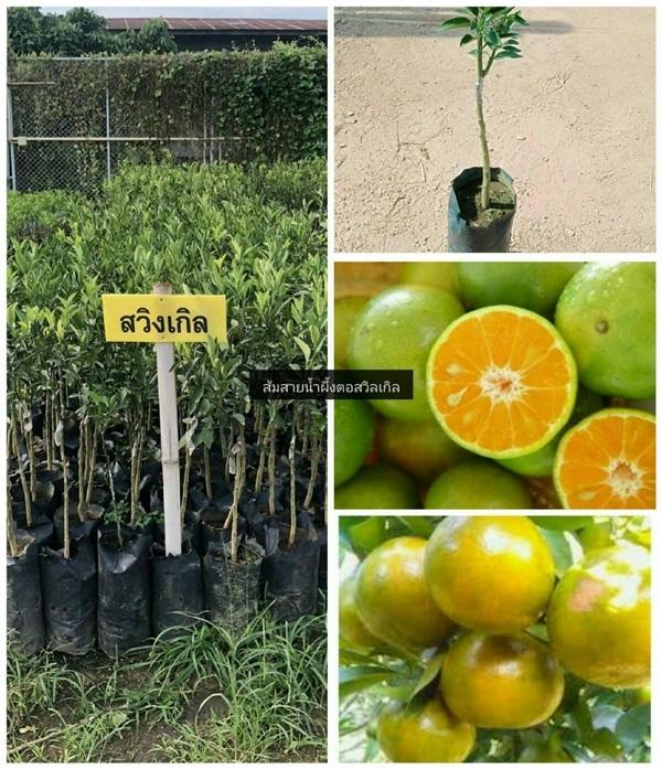 ต้นส้มสายน้ำผึ้งตอสวิงเกิลเสียบยอด
