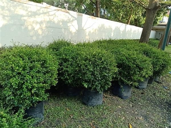 ต้นชาฮกเกี้ยน