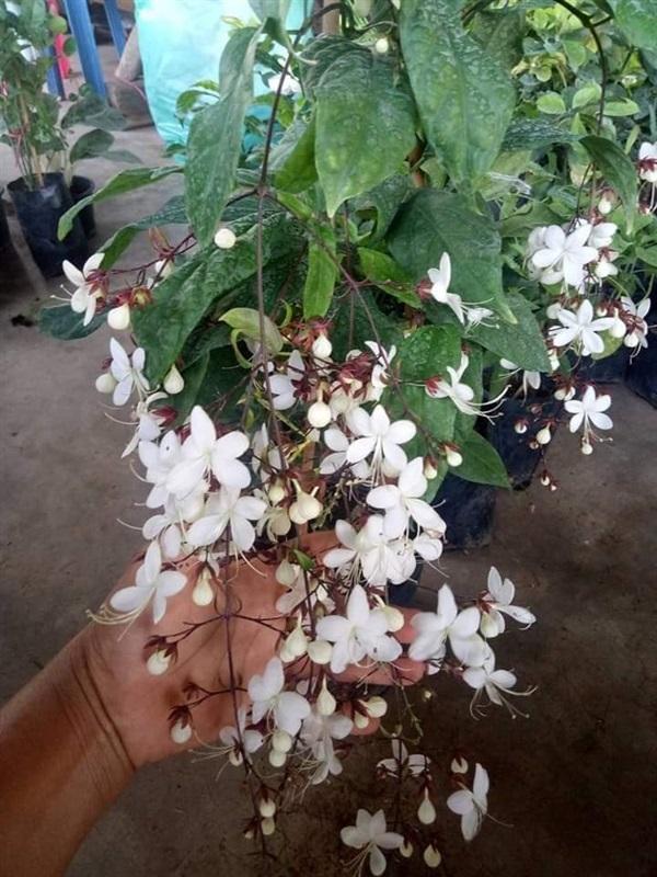 #สร้อยสายเพชร เป็นไม้พุ่มขนาดเล็กดอกสีขาว