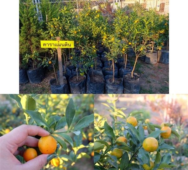 ต้นส้มคาราแมนติน คารามอนติน หรือส้มศิริมงคล