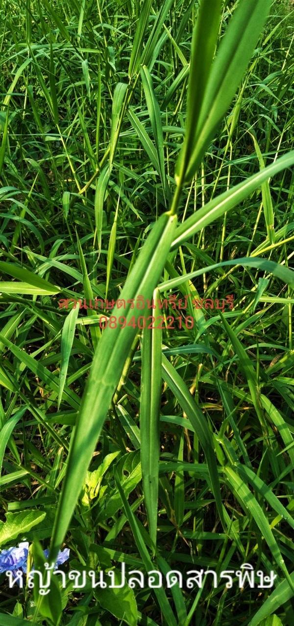 หญ้าขนปลอดสารพิษ