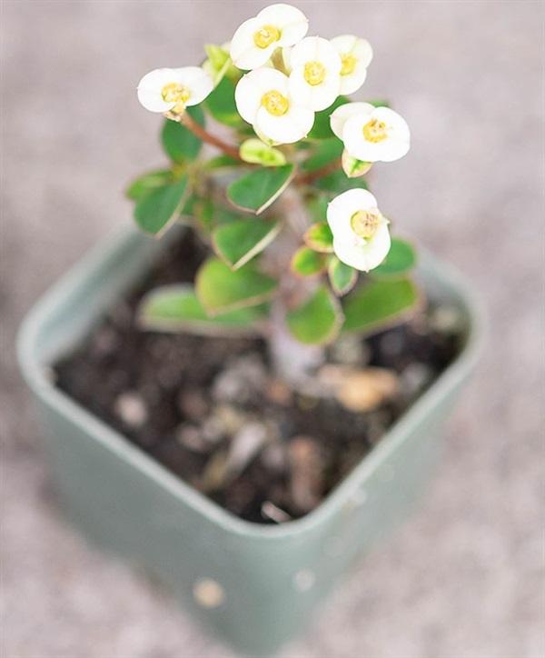 โป๊ยเซียนกระถางสี่เหลี่ยม ดอกจิ๋วสีขาว ต้นเลแคระ