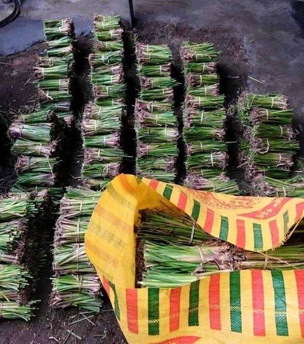 ขายหญ้าแฝก รับเหมาปลูกหญ้าแฝก เก็บเงินปลายทาง จัดส่งฟรี,,หญ้า