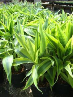 กวนอิมทอง (Ribbon plant )